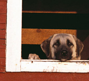 Dog Peeking out Barn Window